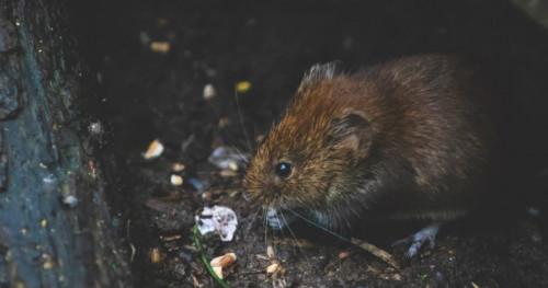 Cara Mengusir Tikus dari Rumah dengan Buah Bintaro